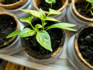 Semis de piments d'ornement
