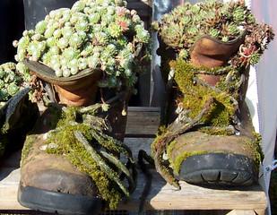 Joubarbes colonisant une vieille paire de chaussures