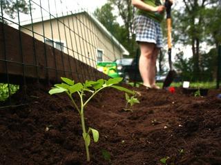 Plantation de tomate en pleine terre