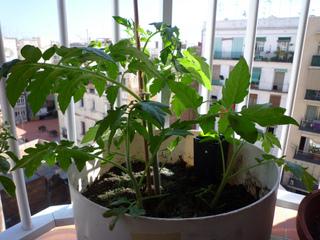 Culture de tomates en pot sur un balcon