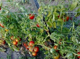 Tomates palissées