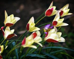 Tulipe botanique : culture en pot