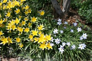Ipheion et Tulipa tarda (tulipe botanique)