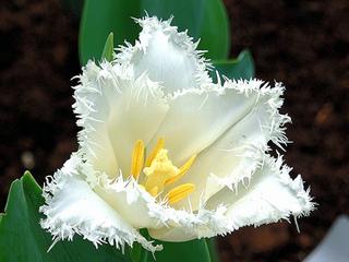 Tulipe frangée (perroquet)