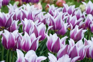 Tulipes : choisir parmi les différentes variétés
