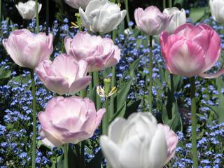 Tulipes et myosotis dans un parterre