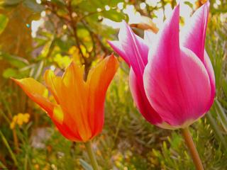 tulipe et compagnie