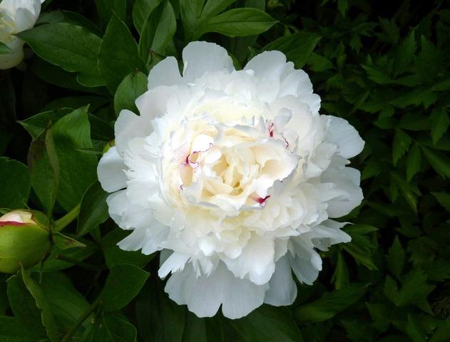 Paeonia lactiflora 'Festiva Maxima' (Pivoines : les classiques et les originales)