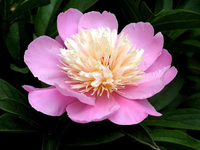 Paeonia 'Bowl of Beauty' (Pivoines : les classiques et les originales)