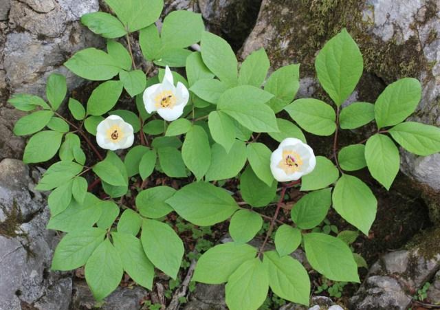 Paeonia japonica (Pivoines : les classiques et les originales)