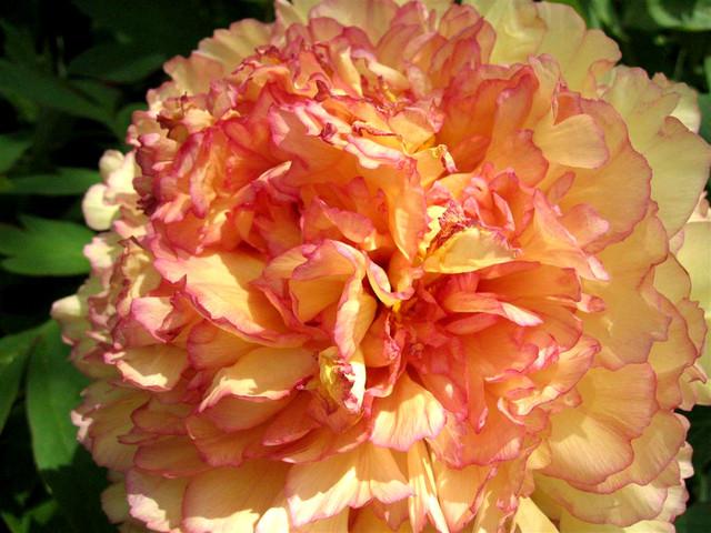 Pivoine arbustive aux fleurs orangées (Pivoines : les classiques et les originales)
