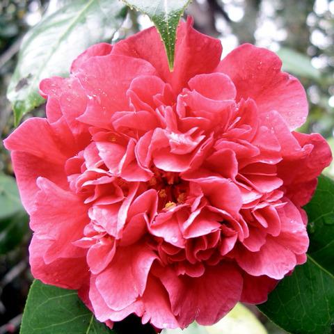 camellia ou cam lia fleurs simples doubles semi doubles. Black Bedroom Furniture Sets. Home Design Ideas