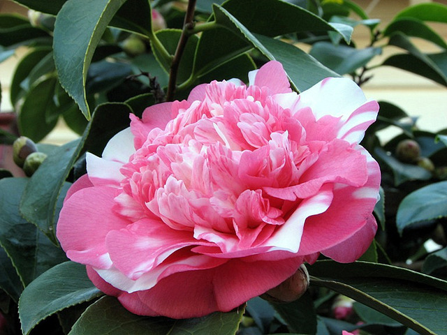 Camellia ou camélia : fleurs simples, doubles, semi ...