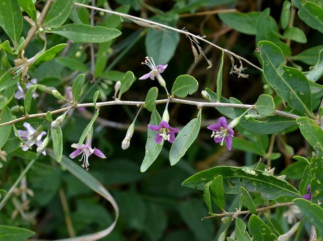 Goji conseils de culture for Plants de fleurs