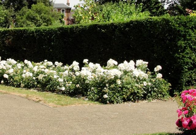 Quand faut il tailler les rosiers amazing quand faut il tailler les rosiers with quand faut il - Faut il tailler les hortensias ...