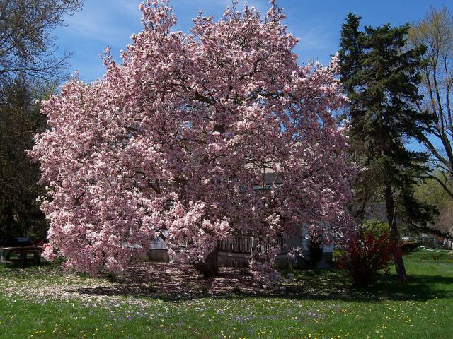 Grands arbres choix d 39 esp ce plantation for Sujets decoratifs pour jardin