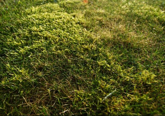 Eliminer la mousse sur la pelouse