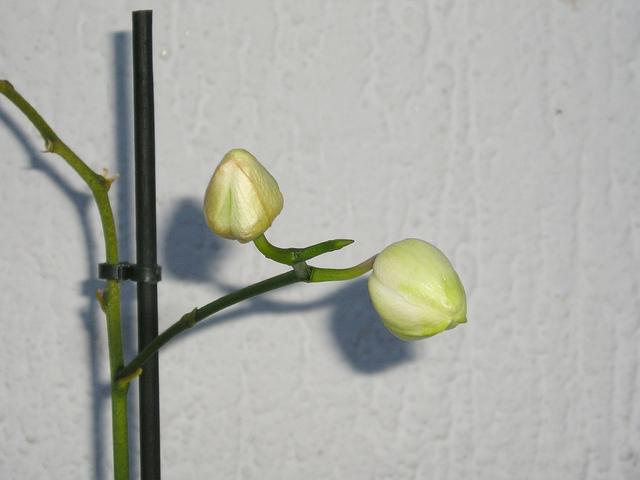 faire refleurir une orchidée phalaenopsis