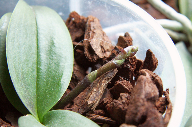 orchidee qui ne fleurit pas