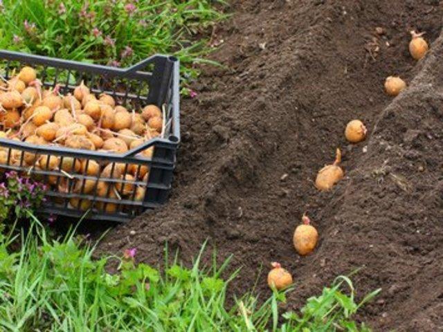Planter Des Pomme De Terre