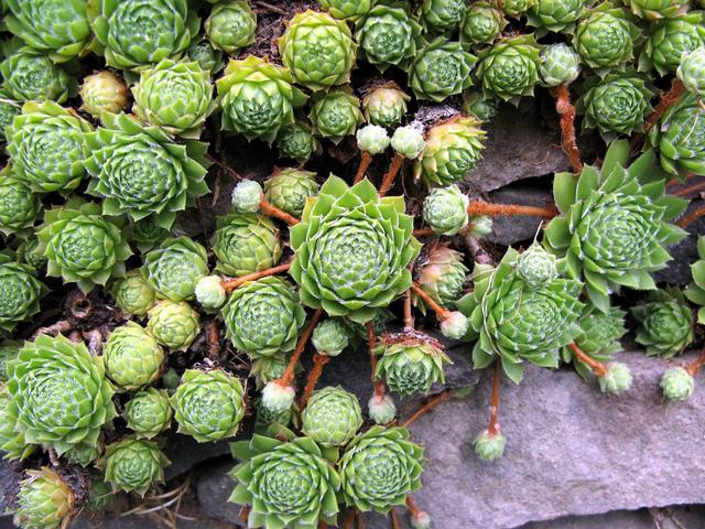 Joubarbe ou sempervivum culture description esp ces et for Achat plantes vivaces pas cher