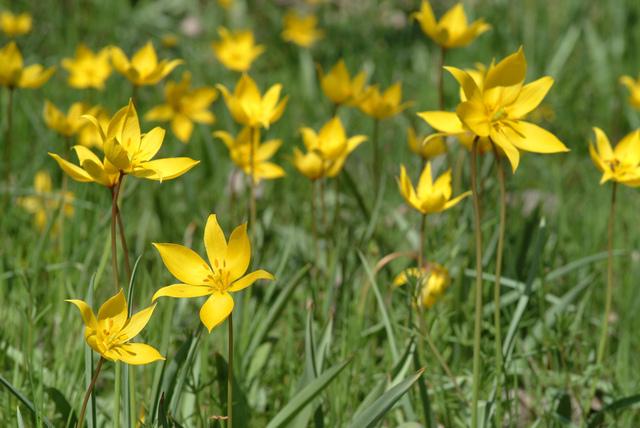 Tulipes botaniques et tulipes sauvages