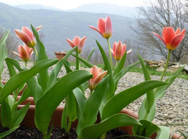 Tulipe botanique culture en pot - Comment planter des tulipes en pot ...