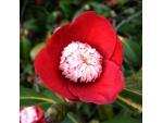 Camellia à fleurs d'anémone