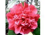 Camellia à fleurs de pivoine