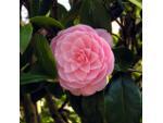 Camellia à fleurs imbriquées