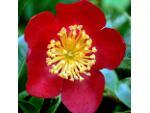 Camellia à fleurs simples