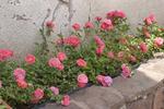 Meilland : une nouvelle gamme de rosiers compacts, Drift