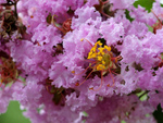 Lagerstroemia ou lilas des Indes