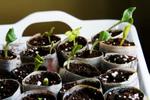 Les semis à chaud
