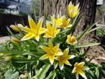 Tulipes botaniques : introduction