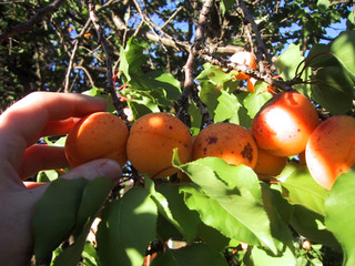 Récolte d'abricots