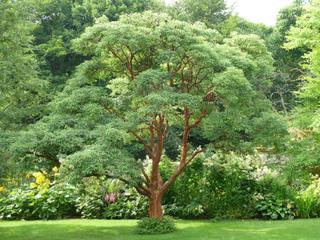 Acer griseum - Erable cannelle