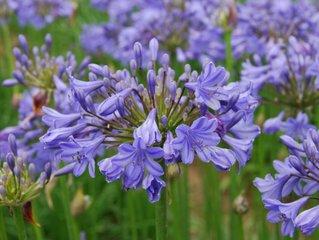 Agapanthe, des fleurs bleues à foison