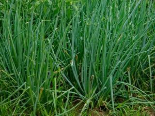 Allium fistulosum : ciboule ou cive