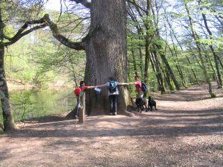 Forêt de Tronçais (Allier) - Arbre remarquable