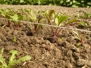 Plantation de betteraves rouges au potager