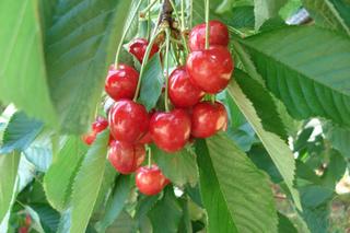 Choisir un cerisier - la pollinisation