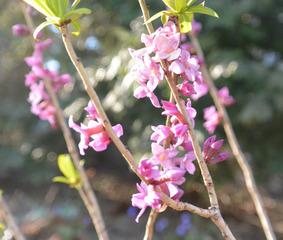 Daphne mezereum (Bois gentil)
