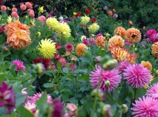 Différentes formes de fleurs de dahlias