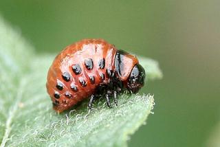 Doryphore (larve)
