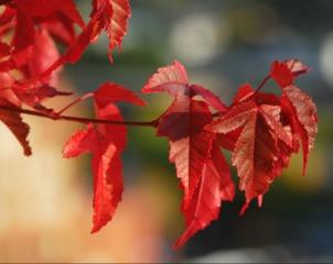 Feuilles d'érable (Acer ginnala)