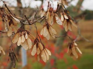 Fruits de l'érable : disamares