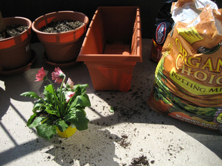 Plantation de gerbera en jardinière