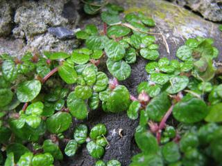 Helxine : floraison
