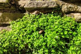 Helxine poussant dans un mur